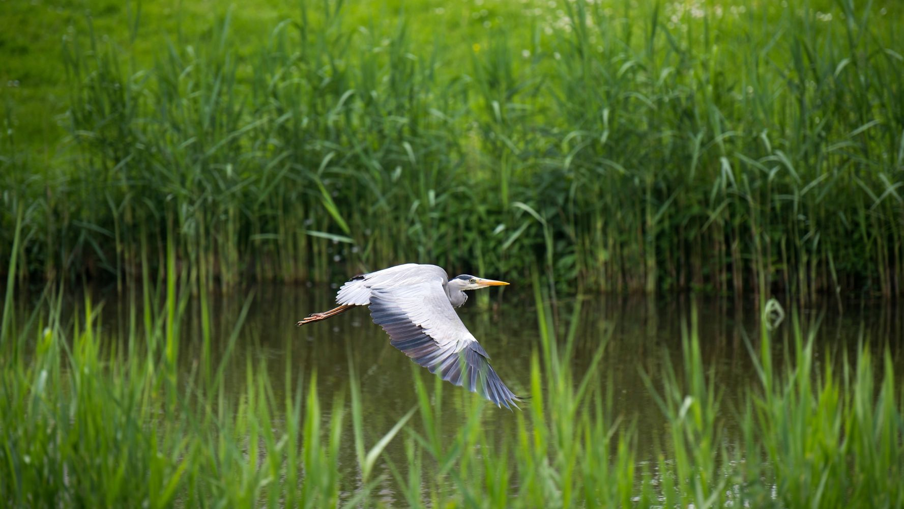 A Grey Heron Flying Across The Norfolk Broads